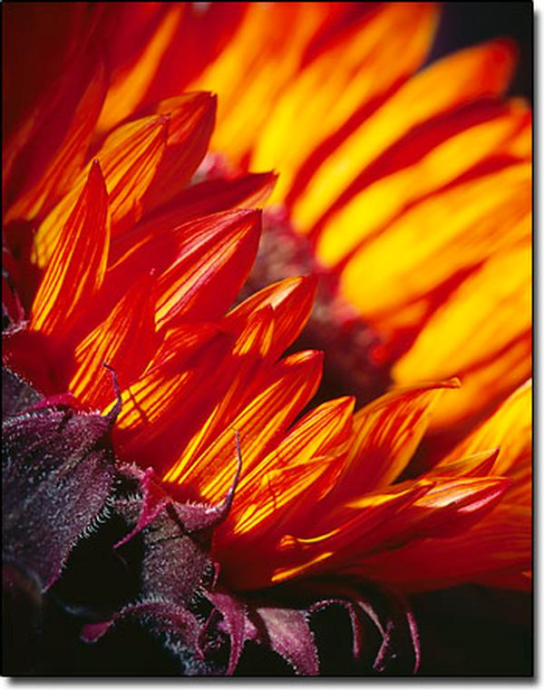 Red Sunflower - Healthcare - Photography